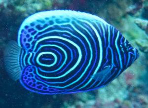 En flot Emperor angelfish juvenil i Rødehavet