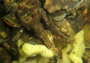 Søpunge og svampe vokser hen over muslingerne.