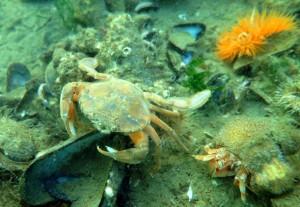 Svømmekrabbe, eremitkrebs og søanemone. Et fint lille landskab.