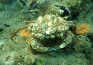 Krabbe overbegroet med rurer.
