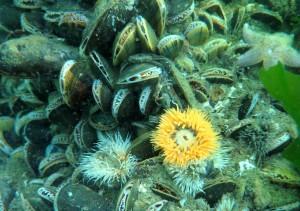 Fine søanemoner mellem muslingerne