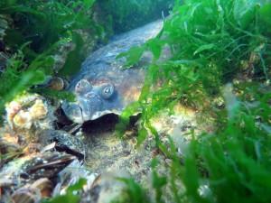 Fladfisk forsøger at skjule sig for snorkleren
