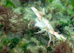 Han og hun krabben følges ad ved parring.