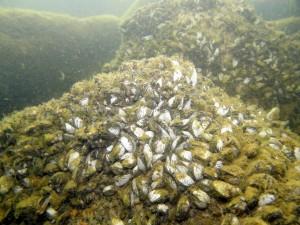 Ferskvandsmuslinger kan dække store områder af den faste bund.