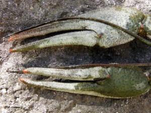 Længden i forhold til bredden, er en god måde at kende de forskellige arter af søens krebs fra hinanden.