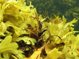 De brune tangplanter med snegle