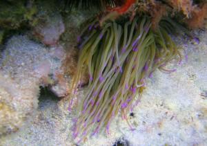 Søanemone med flotte men meget brændende nældetråde!