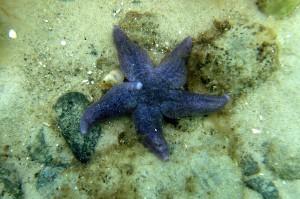 På det lave vand ses ofte almindelige søstjerner (Asterias rubens) som er 5-10 cm i diameter, men de kan blive op til ca 50 cm