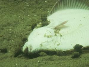 Dværgkonken (Nassarius reticulatus) er meget almindelig. Men den er mest nedgravet i sandet og leder efter orme og andre dyr. Men er der fx en død fisk på bunden, kravler de gerne op og smæsker sig.