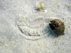 Strandsneglene (Littorina) laver tydelige spor, når de kravler hen over sandet. Men de ses også en del i tangen og på sten.