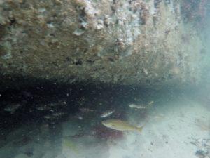 under en af bunkerne holdt torske-fisk til
