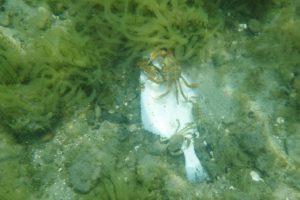 krabber spiser en død fladfisk i kattegat