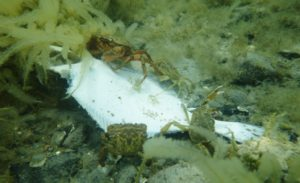 krabber spiser en død fladfisk