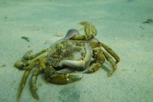 krabbe bliver spist af søstjerner i Kattegat