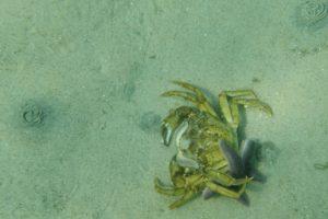 krabbe bliver spist af søstjerner i Kattegat på en snorkletur