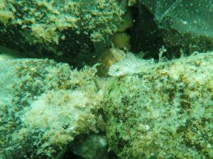 Med makrolinse på GoPro fås et godt billede, når det er beskåret - her en lille kutling på en sten
