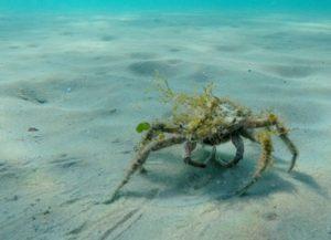 en stor krabbe kommer gående hen til næste område, hvor den kan gemme sig