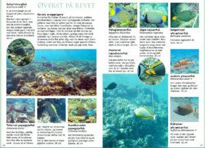 snorkling og fisk i Rødehavet