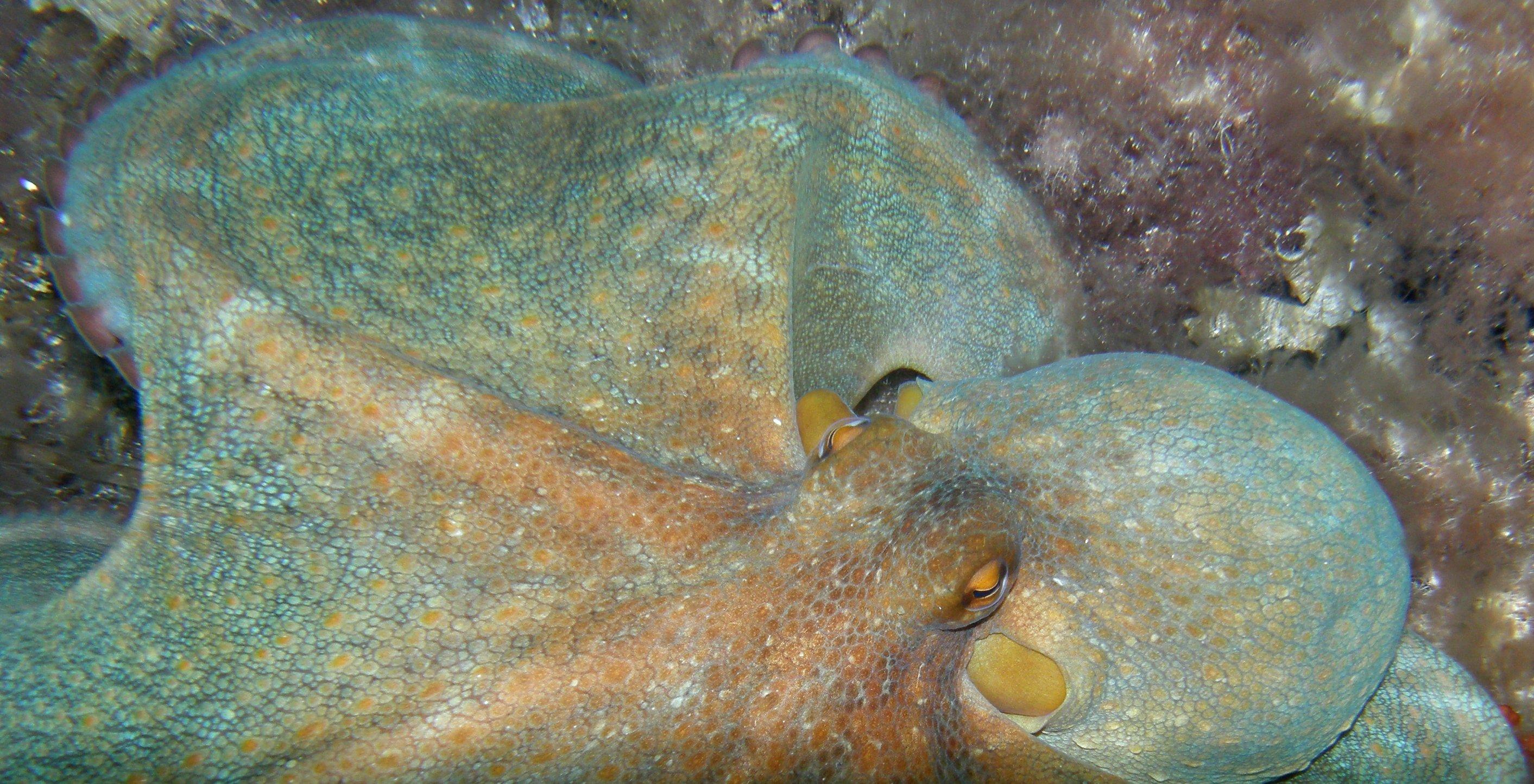 8-armet blæksprutte i Middelhavet.
