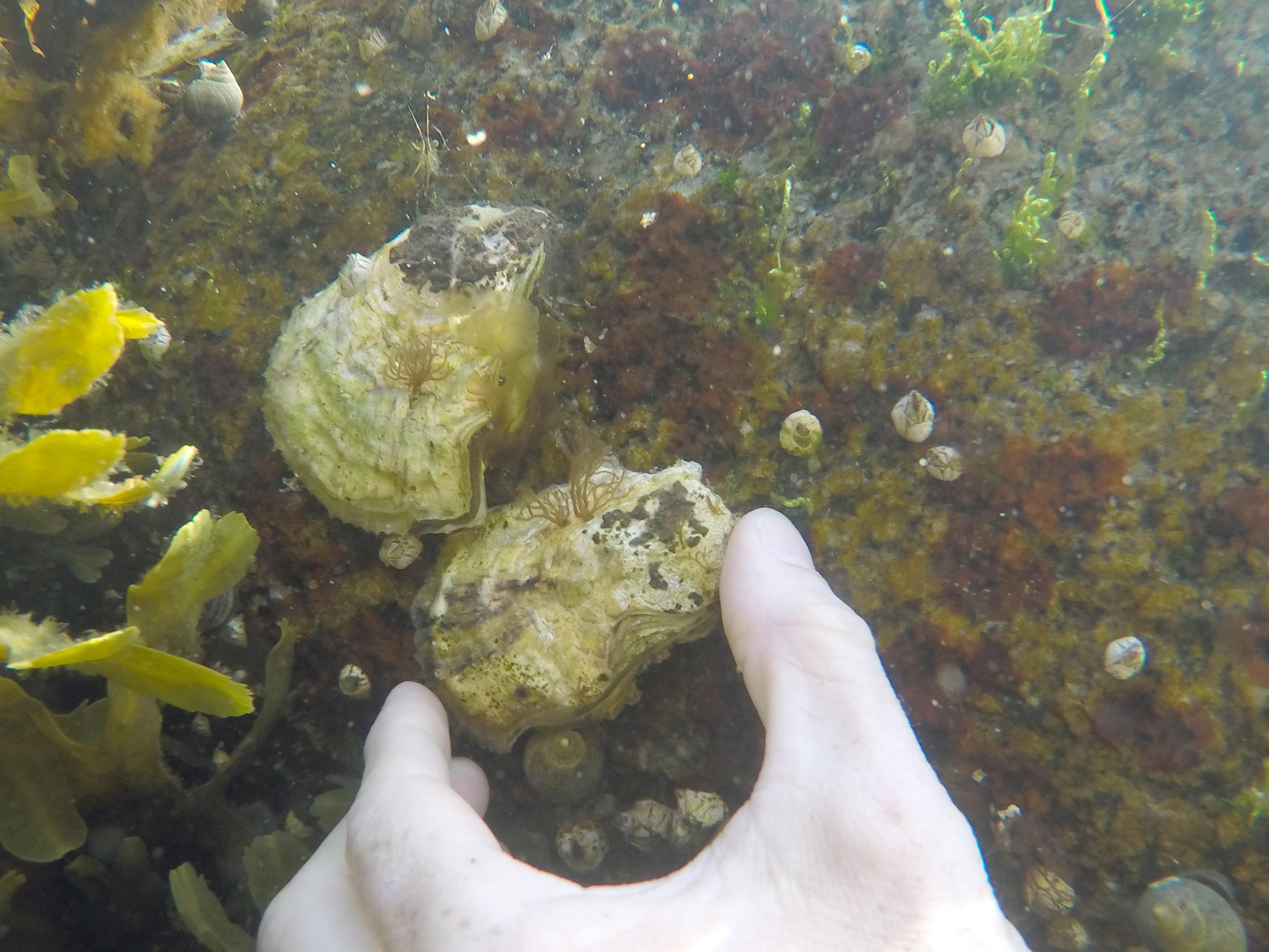 Stillehavsøsters - Østers på sten i Svanemøllebugten