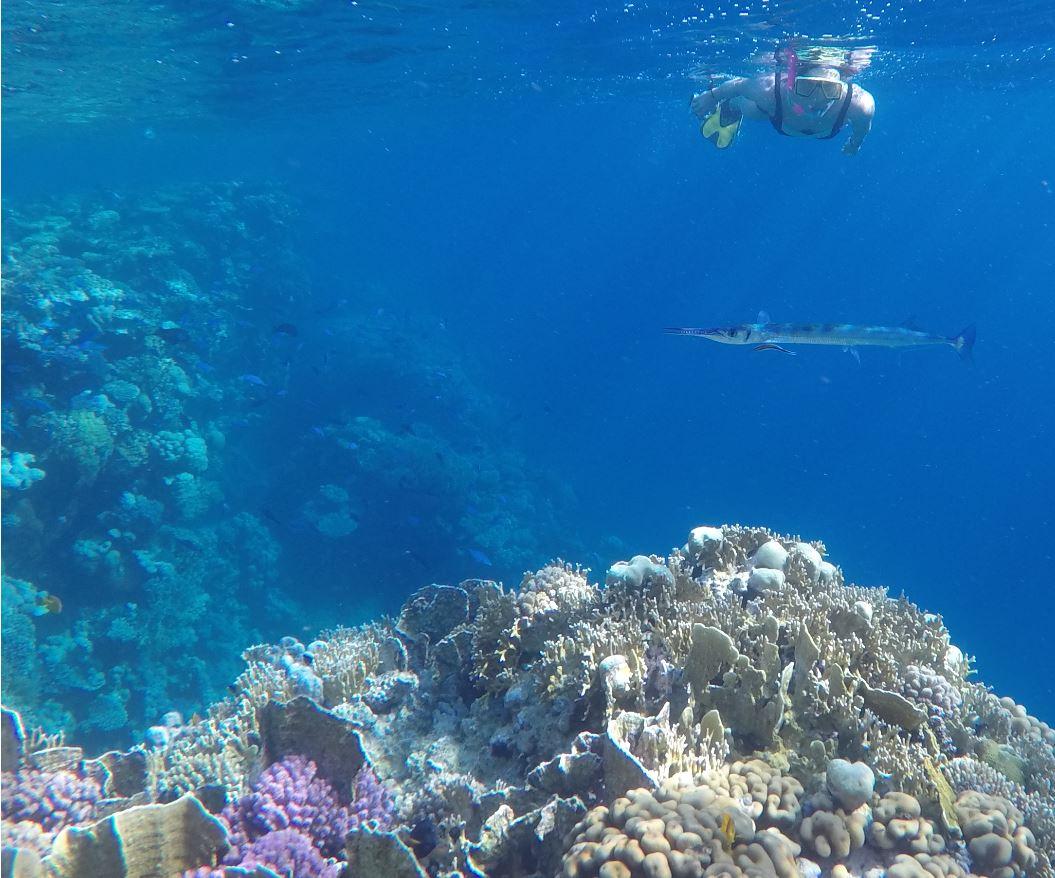 snorkling i Rødehavet - Rødehavshornfisk bliver renset