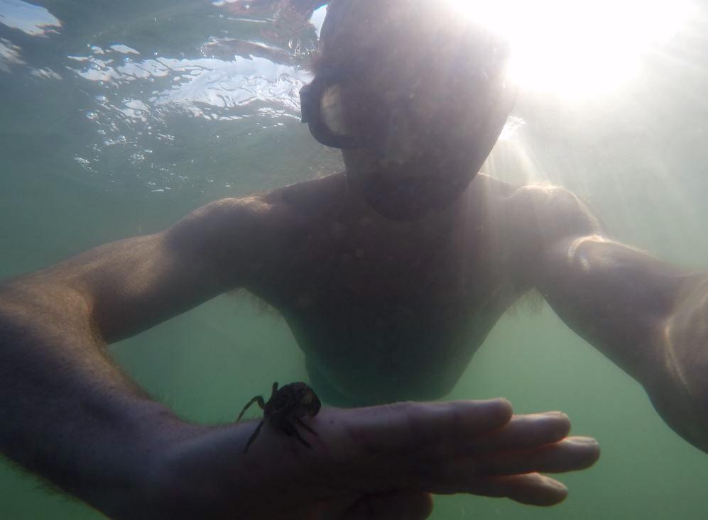 strandkrabbe svømmer op fra bunden og sætter sig på hånden, hvor den bliver siddende mens jeg svømmer videre